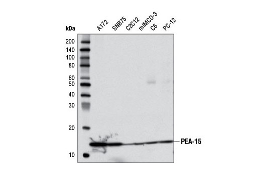 Western blot analysis of extracts from various cell lines using PEA-15 (D1G6A) Rabbit mAb.
