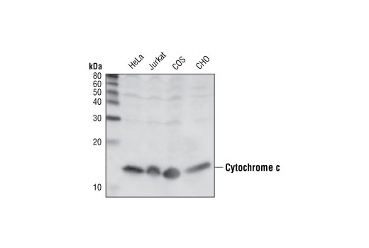 Western blot analysis of cell lysates from various cell lines, using Cytochrome c (136F3) Rabbit mAb.
