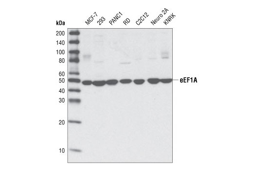 Mouse Translation Elongation Factor Activity