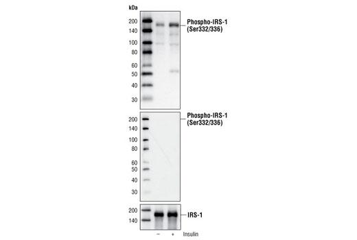 Polyclonal Antibody - Phospho-IRS-1 (Ser332/336) Antibody - Western Blotting, UniProt ID P35568, Entrez ID 3667 #2580 - #2580