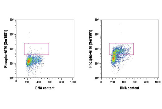 Flow cytometric analysis of HeLa cells, untreated (left) or treated with camptothecin (1 μM, 2 hr; right), using Phospho-ATM (Ser1981) (D25E5) Rabbit mAb and Propidium Iodide (PI)/RNase Staining Solution #4087 to measure DNA content. Anti-rabbit IgG (H+L), F(ab')<sub>2</sub> Fragment (Alexa Fluor<sup>®</sup> 488 Conjugate) #4412 was used as a secondary antibody.