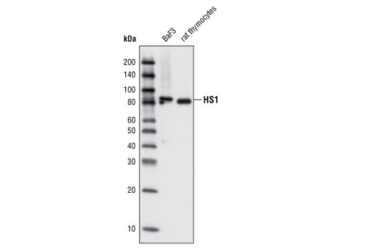 Western blot analysis of cell extracts from BaF3 and rat thymocytes using HS1 Antibody (Rodent Specific).