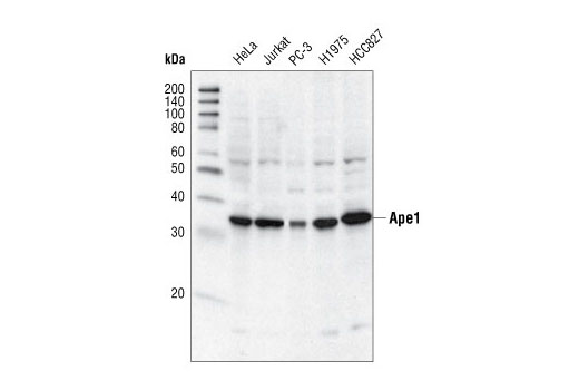 Western blot analysis of extracts from various cell types using Ape1 Antibody.