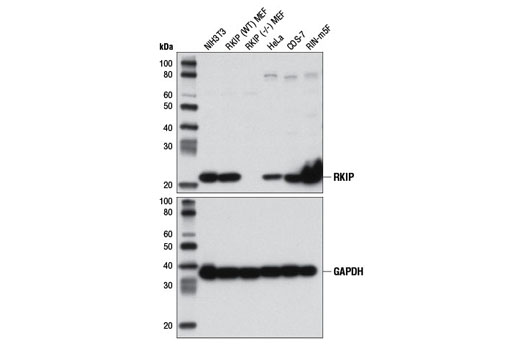 Western blot analysis of extracts from various cell lines, including RKIP wild-type (WT) and RKIP knock-out (-/-) MEF cells, using RKIP (D42F3) Rabbit mAb (upper) and GAPDH (D16H11) XP® Rabbit mAb #5174 (lower). The RKIP MEF cells were generously provided by Dr. Marsha Rosner, University of Chicago, Chicago, IL.