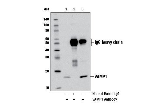 Polyclonal Antibody - VAMP1 Antibody - Immunoprecipitation, Western Blotting, UniProt ID P23763, Entrez ID 6843 #13151 - Neuroscience