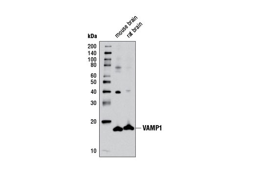 Western blot analysis of extracts from mouse and rat brain using VAMP1 Antibody.