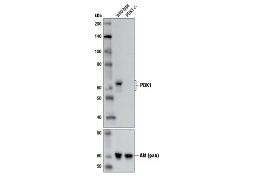 Western blot analysis of extracts from HCT 116 wild-type and HCT 116 PDK1-/-cells using PDK1 (D4Q4D) Rabbit mAb (upper) and Akt (pan) (C67E7) Rabbit mAb #4691 (lower). (HCT 116 wild-type and HCT116 PDK1-/-cells were kindly provided by Dr. Bert Vogelstein, Johns Hopkins University, Baltimore, MD).