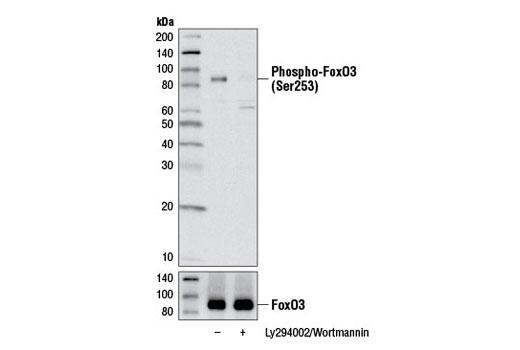 Monoclonal Antibody - Phospho-FoxO3a (Ser253) (D18H8) Rabbit mAb, UniProt ID O43524, Entrez ID 2309 #13129 - #13129