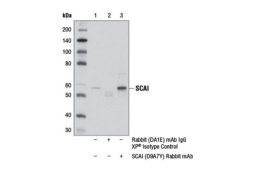Immunoprecipitation of SCAI from MCF7 cell extracts using Rabbit (DA1E) mAb IgG XP<sup>®</sup> Isotype Control #3900 (lane 2) or SCAI (D9A7Y) Rabbit mAb (lane 3). Lane 1 is 10% input. Western blot was performed using SCAI (D9A7Y) Rabbit mAb.