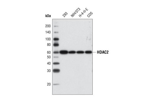 Western blot analysis of various cell types using HDAC2 Antibody.