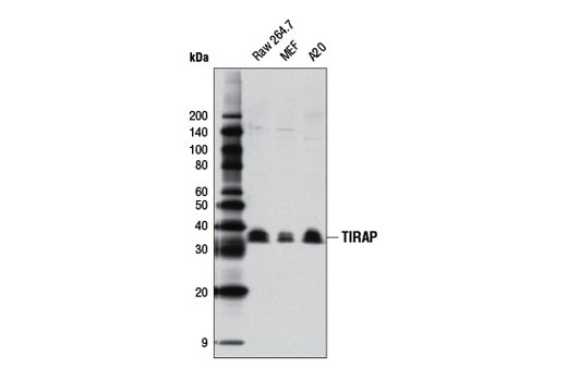 Western blot analysis of extracts from Raw 264.7, MEF, and A20 cells using TIRAP (D6M9Z) Rabbit mAb (Mouse Specific).