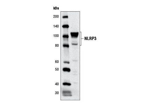 Western blot analysis of extracts from THP-1 cells using NLRP3 (D2P5E) Rabbit mAb.