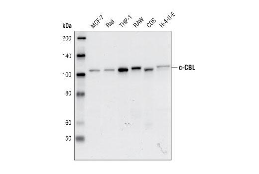 Western blot analysis of lysates from MCF-7, Raji, THP-1, RAW, COS and H-4-II-E cells, using c-CBL antibody.