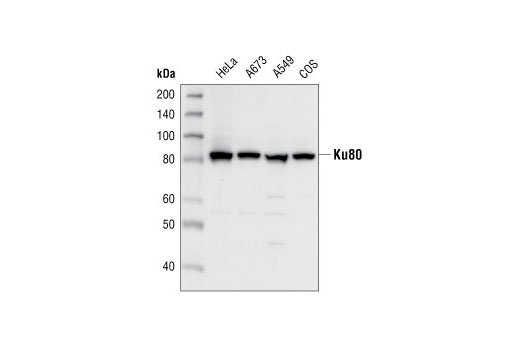 Polyclonal Antibody Western Blotting Double-Strand Break Repair