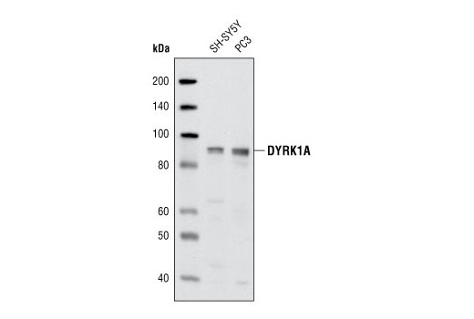 Western blot analysis of extracts from SY-SY5Y and PC3 cells using DYRK1A Antibody.