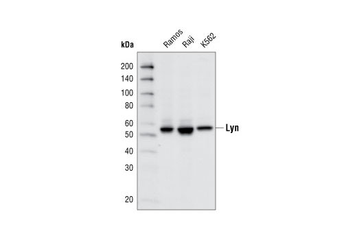 Western blot analysis of cell extracts from various cell types using Lyn (C13F9) Rabbit mAb.