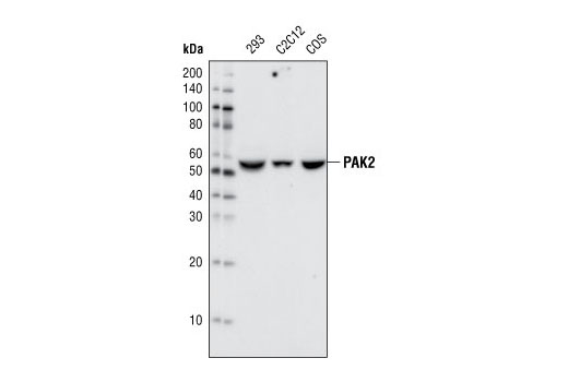 Western blot analysis of extracts from 293, C2C12 and COS cells using PAK2 (C17A10) Rabbit mAb.