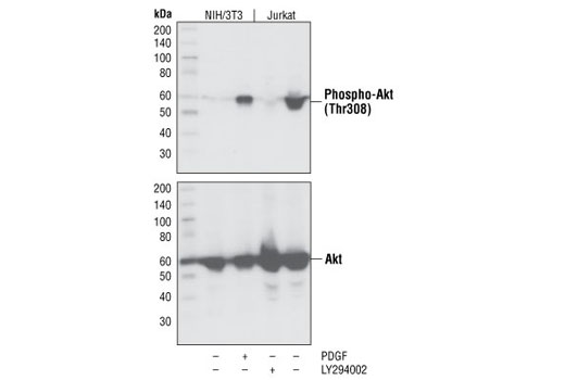 Western blot analysis of extracts from NIH/3T3 and Jurkat cells, untreated, PDGF-treated or LY294002-treated as indicated, using Phospho-Akt (Thr308) (C31E5E) Rabbit mAb (upper) or Akt (pan) (C67E7) Rabbit mAb #4691 (lower).