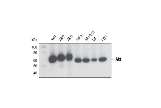 Western blot analysis of recombinant Akt1, Akt2 and Akt3 proteins, and extracts from various cell lines, using Akt (pan) (C67E7) Rabbit mAb.