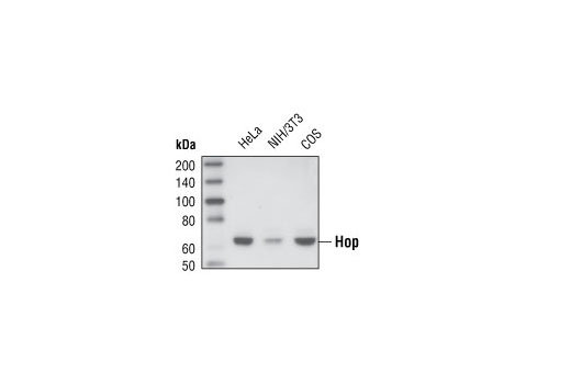 Rat hsp70 Protein Binding - count 20