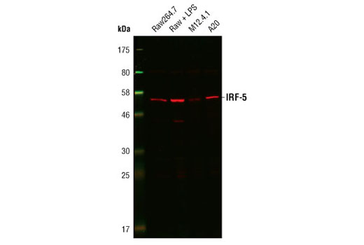 Western blot analysis of extracts from Raw264.7 cells, untreated or LPS-treated (1 µg/ml for 6 h), M12.4.1 cells and A20 cells, using IRF-5 Antibody (Rodent Specific).
