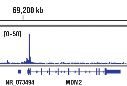 Chromatin immunoprecipitations were performed with cross-linked chromatin from HaCaT cells and p63-α (D2K8X) XP<sup>®</sup> Rabbit mAb, using SimpleChIP<sup>®</sup> Plus Enzymatic Chromatin IP Kit (Magnetic Beads) #9005. DNA Libraries were prepared using SimpleChIP<sup>®</sup> ChIP-seq DNA Library Prep Kit for Illumina<sup>®</sup> #56795. The figure shows binding across MDM2, a known target gene of p63-α (see additional figure containing ChIP-qPCR data). For additional ChIP-seq tracks, please download the product data sheet.