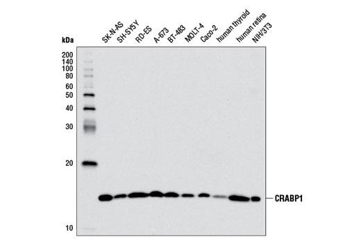 Monoclonal Antibody - CRABP1 (D5W9A) Rabbit mAb - Western Blotting, UniProt ID P29762, Entrez ID 1381 #13206, Crabp1
