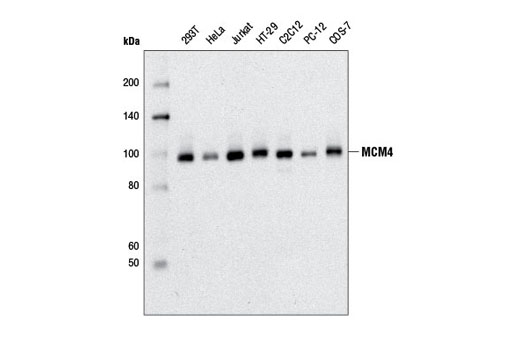 Western blot analysis of extracts from various cell lines using MCM4 (D3H6N) XP<sup>®</sup> Rabbit mAb.