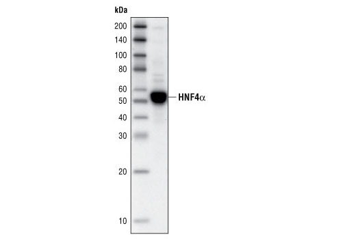 Western blot analysis of extract from HepG2 cells using HNF4α (C11F12) Rabbit mAb.
