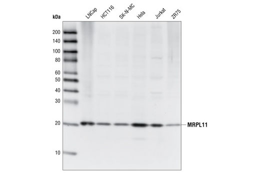 Western blot analysis of extracts from various cell types using MRPL11 Antibody.