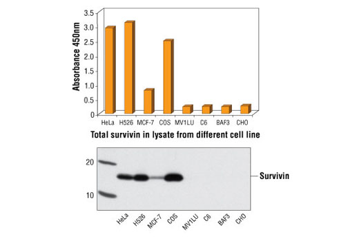 Figure 1: Survivin protein from human cells (HeLa, H526 and MCF-7) and monkey cells (COS) can be detected by PathScan<sup>®</sup> Total Survivin Sandwich ELISA Kit #7169. However, this kit cannot detect the survivin protein from other species, such as mink (MV1LU), rat (C6), mouse (BAF3) and hamster (CHO) cell lines. The absorbance readings at 450 nm are shown in the top figure, while the corresponding Western blot using Survivin (6E4) Mouse mAb #2802, is shown in the bottom figure.