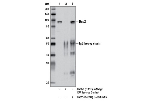 Immunoprecipitation of Dab2 from HeLa cell extracts using Rabbit (DA1E) mAb IgG XP<sup>®</sup> Isotype Control #3900 (lane 2) or Dab2 (D7O9T) Rabbit mAb (lane 3). Lane 1 is 10% input. Western blot analysis was performed using Dab2 (D7O9T) Rabbit mAb.