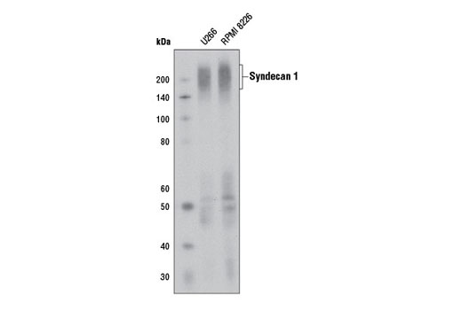 Monoclonal Antibody Western Blotting Myoblast Development