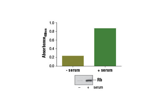Figure 1: Treatment of serum-starved WI-38 cells (3 days) with serum for 2 days induces Rb protein expression, as detected by the PathScan<sup>®</sup> Total Rb Sandwich ELISA Kit #12915. The absorbance readings at 450 nm are shown in the top figure while the corresponding western blot using Rb (D20) Rabbit mAb #9313 is shown in the bottom figure.