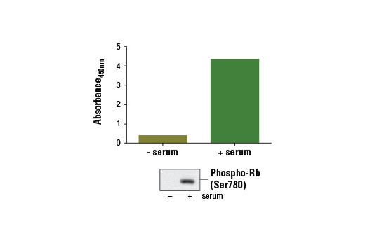 Figure 1: Treatment of serum-starved WI-38 cells (3 days) with serum for 2 days induces phospho-Rb (Ser780), as detected by the PathScan<sup>®</sup> Phospho-Rb (Ser780) Sandwich ELISA Kit #13016. The absorbance readings at 450 nm are shown in the top figure while the corresponding western blot using Phospho-Rb (Ser780) (D59B7) Rabbit mAb #8180 is shown in the bottom figure.
