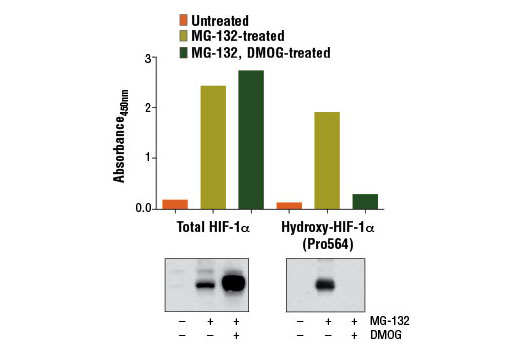 Figure 1: Treatment of HeLa cells with the hydroxylase inhibitor dimethyloxaloylglycine (DMOG) results in decreased hydroxylation of HIF-1α, as detected by the PathScan<sup>®</sup> Hydroxy-HIF-1α (Pro564) Sandwich ELISA Kit #13201, but does not affect the level of total HIF-1α detected by PathScan<sup>®</sup> Total HIF-1α Sandwich ELISA Kit #13127. Absorbance at 450 nm is shown in the top figures while corresponding western blots using a total HIF-1α antibody (left) and Hydroxy-HIF-1α (Pro564) (D43B5) XP<sup>®</sup> Rabbit mAb #3434 (right) are shown in the bottom figures. Treatment of HeLa cells with the proteasome inhibitor MG-132 #2194 stabilizes HIF-1α protein.