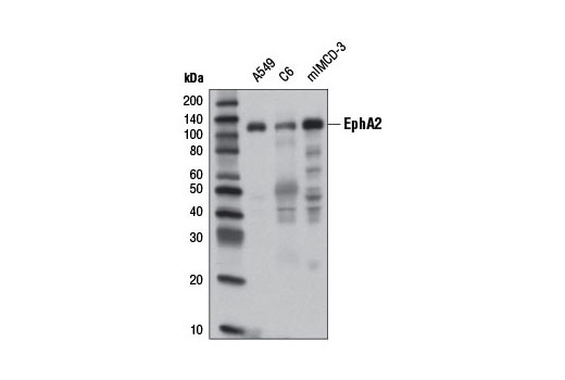Western blot analysis of extracts from A549, C6, and mIMCD-3 cells using EphA2 (8B6) Mouse mAb.