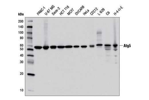 Western blot analysis of extracts from various cell lines using Atg5 (D5F5U) Rabbit mAb.