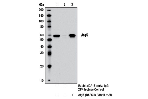Immunoprecipitation of Atg5 from PANC-1 cell extracts using Rabbit (DA1E) mAb IgG XP<sup>®</sup> Isotype Control #3900 (lane 2) or Atg5 (D5F5U) Rabbit mAb (lane 3). Lane 1 is 10% input. Western blot was performed using Atg5 (D5F5U) Rabbit mAb. Mouse Anti-rabbit IgG (Conformation Specific) (L27A9) mAb #3678 was used as a secondary antibody to avoid cross-reactivity with rabbit IgG.