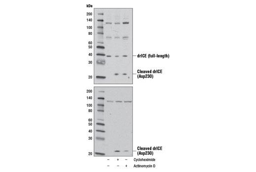 Polyclonal Antibody - Drosophila ICE (drICE) Antibody - Western Blotting, UniProt ID O01382, Entrez ID 43514 #13085 - Primary Antibody Conjugates
