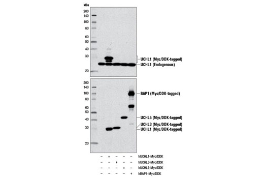 Western blot analysis of extracts from 293T cells, mock transfected (-) or transfected with constructs expressing Myc/DDK-tagged full-length human UCHL1 (hUCHL1-Myc/DDK; +), Myc/DDK-tagged full-length human UCHL3 (hUCHL3-Myc/DDK; +), Myc/DDK-tagged full-length human UCHL5 (hUCHL5-Myc/DDK; +), and Myc/DDK-tagged full-length human BAP1 (hBAP1-Myc/DDK; +), using UCHL1 (D3T2E) XP<sup>®</sup> Rabbit mAb (upper) or DYKDDDDK Tag Antibody #2368 (lower).