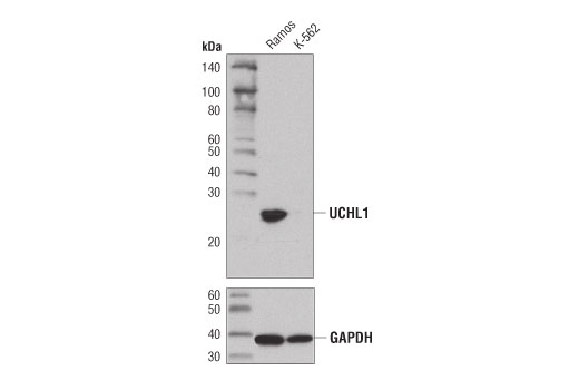 Western blot analysis of extracts from Ramos and K-562 cells using UCHL1 (D3T2E) XP® Rabbit mAb (upper) and GAPDH (D16H11) XP® Rabbit mAb #5174 (lower). As expected, UCHL1 protein expression is not detected in K-562 cells.