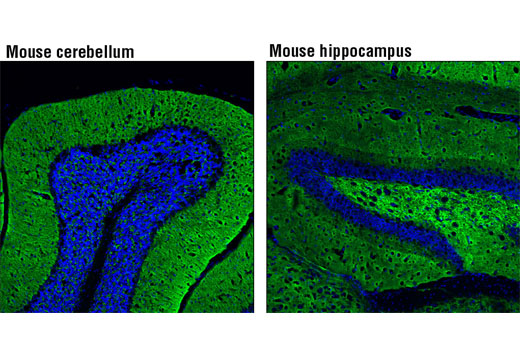 Confocal immunofluorescent analysis of normal mouse cerebellum (left) and hippocampus (right) using Synapsin-1 (D12G5) Rabbit mAb (Alexa Fluor<sup>®</sup> 488 Conjugate) (green). Blue pseudocolor = DRAQ5<sup>®</sup> #4084 (fluorescent DNA dye).