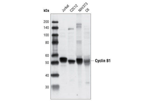Western blot analysis of extracts from various cell types using Cyclin B1 Antibody.