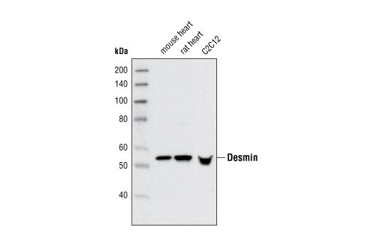 Western blot analysis of extracts from mouse heart, rat heart and C2C12 cells using Desmin Antibody.
