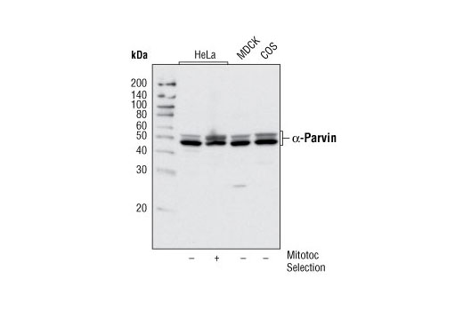 Western blot analysis of extracts from various cell types using α-Parvin Antibody. In lane 2, HeLa cells were isolated in mitosis by mitotic shake-off following nocodozole treatment (100 ng/mL for 4 hours).