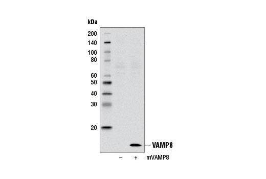 Polyclonal Antibody - VAMP8 Antibody - Western Blotting, UniProt ID Q9BV40, Entrez ID 8673 #13060 - Primary Antibody Conjugates