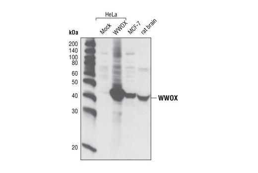 Polyclonal Antibody - WWOX Antibody - Western Blotting, UniProt ID Q9NZC7, Entrez ID 51741 #4045, Apoptosis
