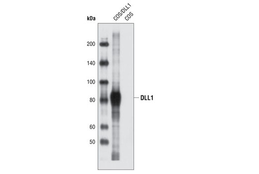 Western blot analysis of extracts from COS cells, untransfected or transiently transfected with a construct expressing rat DLL1 protein, using DLL1 Antibody.