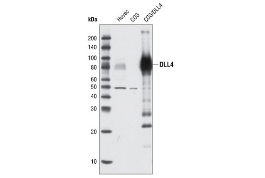 Western blot analysis of extracts from HUVEC and COS cells, untransfected or transiently transfected with a construct expressing human DLL4, using DLL4 Antibody.